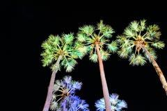 Borassus flabellifer Royalty Free Stock Images
