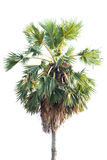 Borassus flabellifer, known by several common names, including Asian Palmyra palm, Toddy palm, Sugar palm, or Cambodian palm, trop. Ical tree in the northeast of Stock Photo