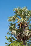 Borassus Flabellifer or Palmyra Palm Tree in Asia Stock Image