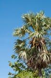 Borassus Flabellifer or Palmyra Palm Tree in Asia Stock Image