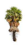 Borassus flabellifer, tropical palm tree isolated  Royalty Free Stock Photo
