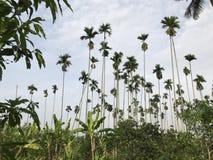 Borassus flabellifer, wątpliwości palma, Palmyra palma, Tala palma, Toddy palma lub wino palma Fotografia Royalty Free