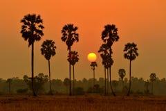 Borassus palm Royalty Free Stock Photos