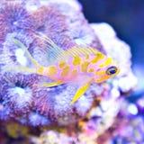 Borbinus Anthias πέρα από το κοράλλι Στοκ Εικόνες