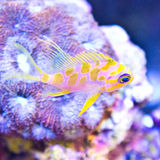 Borbinus Anthias over coral. Blotchy Anthias fish over corals stock photo