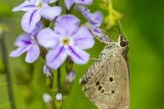 Borbo cinnara (Hesperiidae)蝴蝶0n花 免版税库存照片