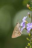 Borbo cinnara (Hesperiidae)蝴蝶0n花 免版税库存图片
