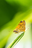 Borbo cinnara (Hesperiidae) Butterfly on green leaf Royalty Free Stock Images
