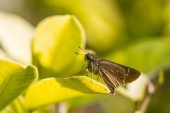 Borbo cinnara (Hesperiidae) Butterfly on green leaf Stock Image