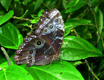 A borboleta Imagens de Stock