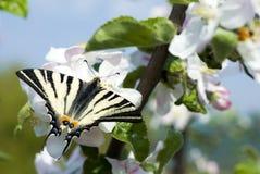 borboleta foto de stock