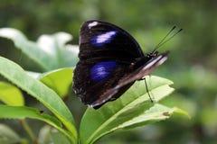 A borboleta Fotografia de Stock Royalty Free