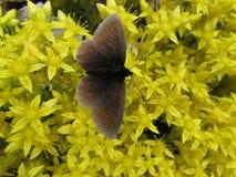 A borboleta Foto de Stock Royalty Free