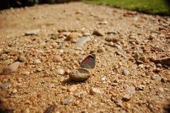 borboleta 88 na pedra perto da grama Imagem de Stock Royalty Free