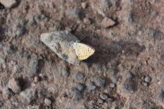 Borboleta Fotos de Stock Royalty Free