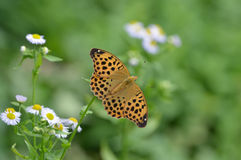 A borboleta abre as asas Fotos de Stock Royalty Free