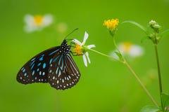 Borboleta agradável com as flores selvagens da margarida Imagens de Stock