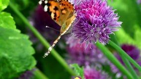 Borboleta agradável em uma flor violeta vídeos de arquivo