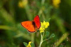 A borboleta alaranjada Imagem de Stock