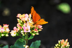 Borboleta alaranjada bonita que poliniza o flo cor-de-rosa e amarelo pequeno Imagem de Stock