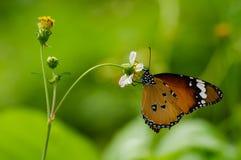 Borboleta alaranjada com as flores selvagens brancas da margarida Foto de Stock
