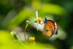 Borboleta alaranjada com as flores selvagens brancas da margarida Imagens de Stock