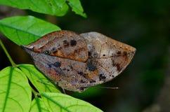 Borboleta alaranjada do oakleaf Foto de Stock