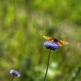 Borboleta alaranjada e flores violetas Imagens de Stock