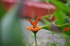Borboleta alaranjada na flor alaranjada imagem de stock royalty free