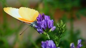 Borboleta alaranjada na flor roxa Imagens de Stock