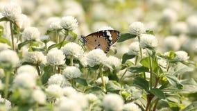 borboleta alaranjada que suga o pólen da flor vídeos de arquivo