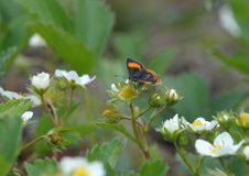 A borboleta ama flores Fotos de Stock Royalty Free