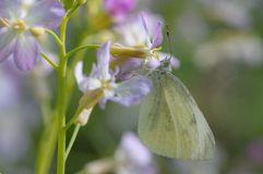 A borboleta ama flores Imagem de Stock Royalty Free