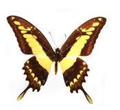 borboleta amarela imagem de stock royalty free