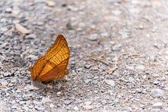 borboleta amarela foto de stock royalty free
