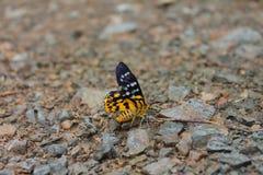 borboleta amarela Imagem de Stock