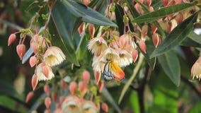 A borboleta amarela bebe o néctar da flor branca da flor durante a estação de mola que processo da polinização da ajuda filme