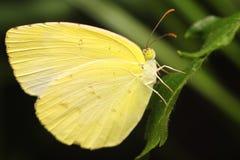 Borboleta amarela bonita Fotografia de Stock Royalty Free