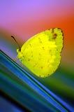 Borboleta amarela bonita fotos de stock royalty free