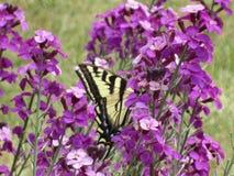 Borboleta amarela bonita do swallowtail do tigre que poliniza flores na rainha Elizabeth Park Garden imagens de stock royalty free