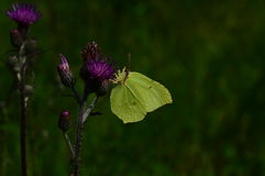 Borboleta amarela da folha na flor roxa do cardo Fotografia de Stock