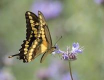 Borboleta amarela de Swallowtail fotografia de stock royalty free