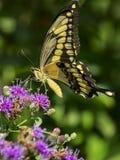 Borboleta amarela de Swallowtail imagem de stock royalty free