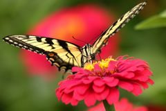 Borboleta amarela de Swallowtail no jardim fotos de stock