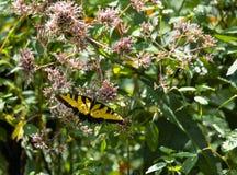 Borboleta amarela de Swallowtail que alimenta I foto de stock
