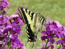 Borboleta amarela de vibração bonito do swallowtail do tigre em flores roxas imagem de stock