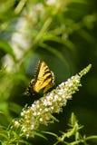 Borboleta amarela do swallowtail em um arbusto de borboleta branco imagens de stock royalty free