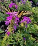 Borboleta amarela do swallowtail no verbena roxo imagens de stock