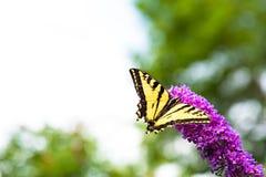 A borboleta amarela e preta do swallowtail que alimenta no arbusto de borboleta cor-de-rosa floresce fotos de stock royalty free