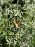 Borboleta amarela e preta - Tiger Swallowtail Papilio oriental foto de stock royalty free